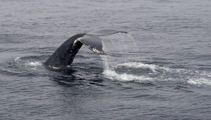 baleine-2-plonge